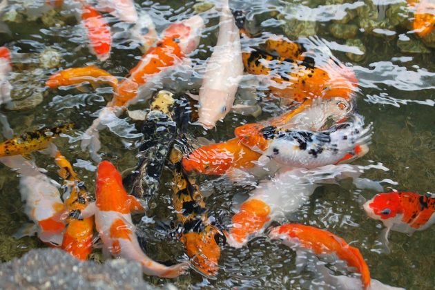 Amoniakas tvenkiniuose ir kt. akvakultūroje